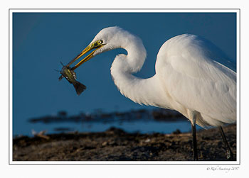 great-egret-with-fish-4-copy.jpg