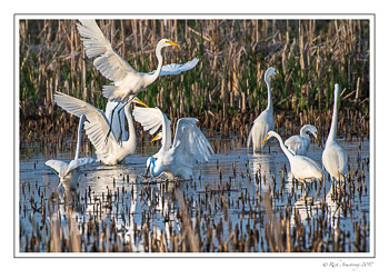 great-egrets-2-copy.jpg