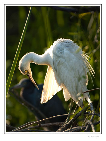 great-whigte-heron-2-frm.jpg