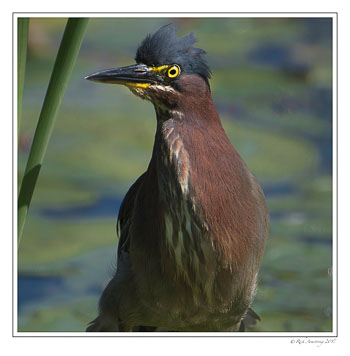 green-heron-1c-copy.jpg