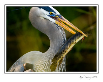 heron-with-fish-2-frm.jpg