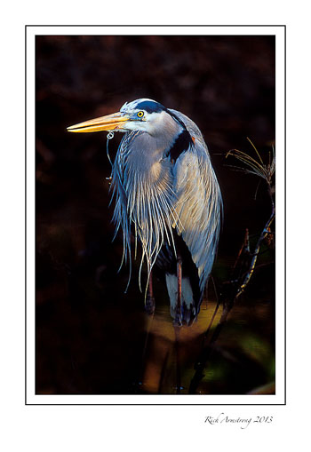 heron-with-fishline-frm.jpg