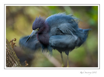 little-blue-heron-1-frm.jpg