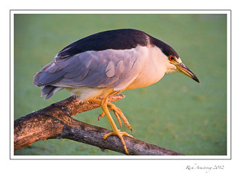 night-heron-6-frm.jpg