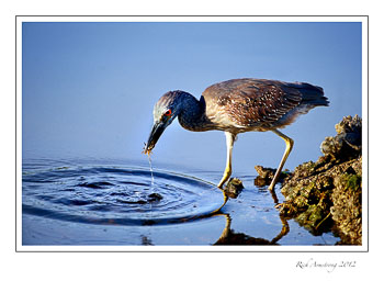 night-heron-crabfrm.jpg