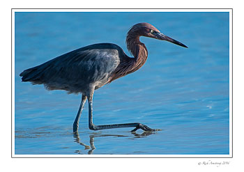 reddish-egret-1-copy.jpg