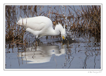 snowy-egret-splash-1-copy.jpg
