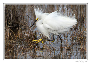 snowy-egret-walking-copy.jpg