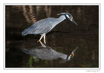 yellow-crowned-Night-heron-4-copy.jpg