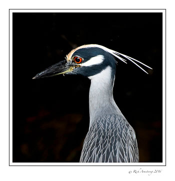yellow-crowned-Night-heron-5-copy.jpg
