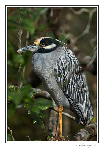 yellow-crowned-night-heron-1-copy.jpg