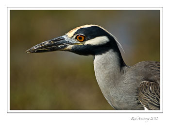 yellow-crowned-night-heron-frm.jpg
