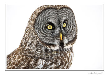 Great-Gray-Owl-w2.jpg