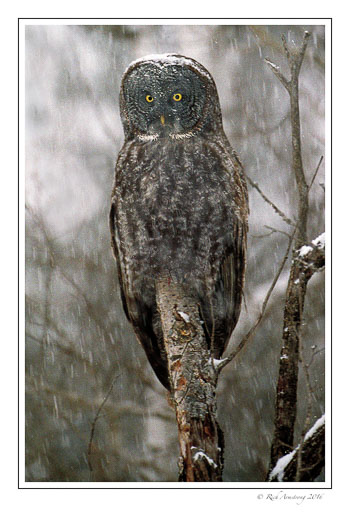 Great-Gray-Owl-w8.jpg