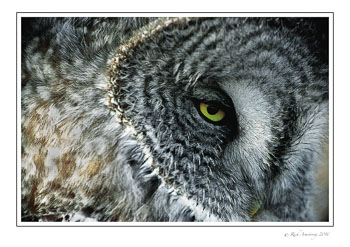 Great-Gray-Owl-w9.jpg