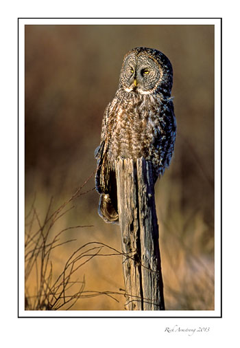 Great-Grey-Owl-frm.jpg