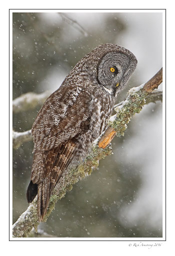 Great-gray-owl-w.jpg