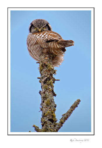Northern-Hawk-owl-frm.jpg