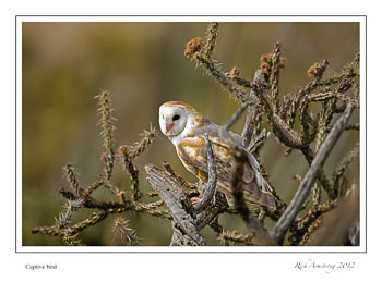barn-owl-in-tree-frm.jpg