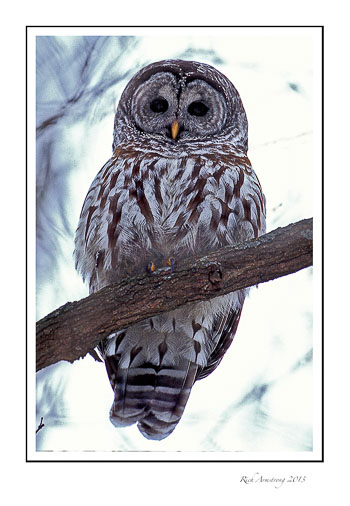 barred-owl-2-frm.jpg