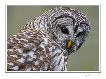 barred-owl-3-frm-copy.jpg
