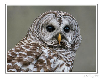barred-owl-4-frm-copy.jpg