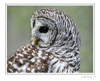 barred-owl-5-frm.jpg