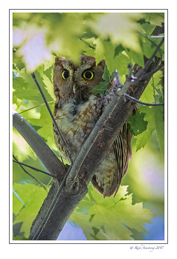 eastern-screech-owl-1-copy.jpg
