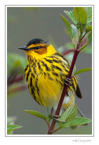 cape-may-warbler-2-frm-copy.jpg