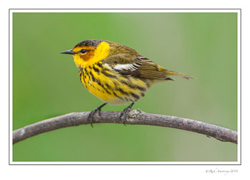 cape-may-warbler-frm-copy.jpg