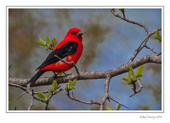scarlte-tanager-2-frm-copy.jpg