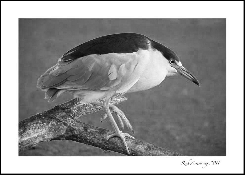 night-heron-6.jpg