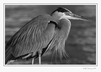 great-blue-heron-1-frm-bnw-copy.jpg