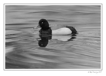 scaup-1-copy-bnw.jpg