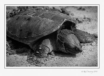 snapping-turtle-1-frm-bw.jpg