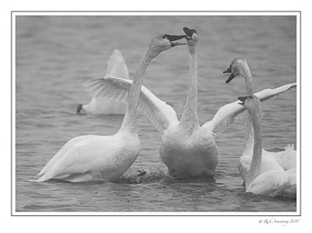 swans-fighting-bnw.jpg