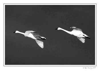 swans-in-flight-2-bnw.jpg
