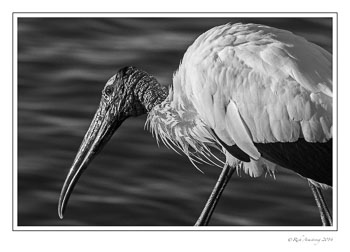 wood-stork-3-frm-bnw-copy.jpg