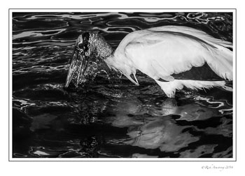 wood-stork-n-water-frm-bnw-copy.jpg
