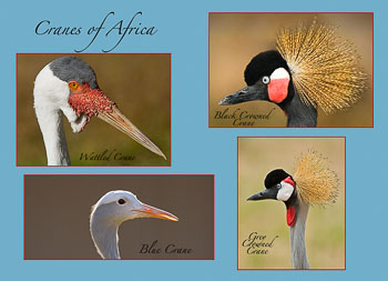 2-Cranes-of-Africa-Web-site.jpg