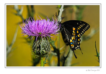 Black-Swallowtail-copy.jpg