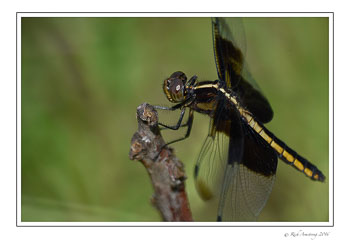Dragon-fly-3-w.jpg