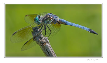 Great-Blue-Skimmer-w.jpg