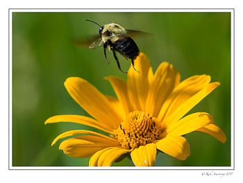 bee-in-flight-1-copy.jpg