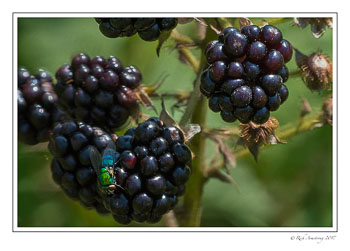 blackberries-n-fly-1-copy.jpg