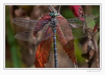 dragon-fly-1-copy.jpg