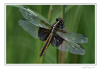 dragon-fly-2-w.jpg