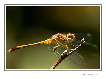 dragon-fly-3frm.jpg
