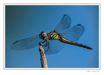 dragon-fly-5-copy.jpg