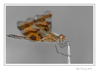 dragon-fly-5-frm.jpg